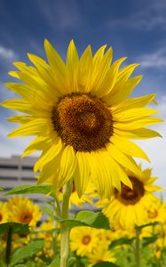 Preview wallpaper sunflowers, flowers, petals, field, yellow