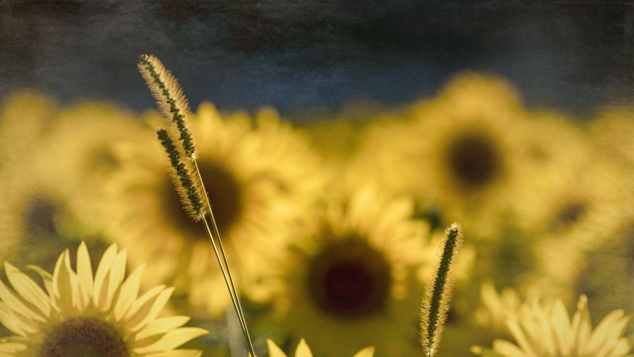 Wallpapersunflowers,flowers,plants,macro高清壁纸免费下载