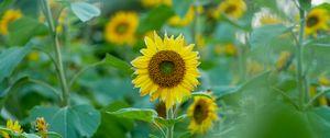 Preview wallpaper sunflowers, flowers, plants, leaves, macro