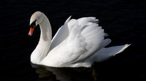 Preview wallpaper swan, bird, water, swim, black background