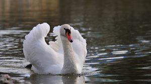 Preview wallpaper swan, bird, water, swim, feathers