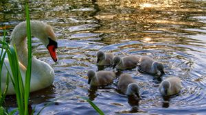 Preview wallpaper swan, young, chicks, water, grass