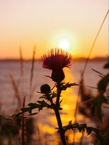 Preview wallpaper thistle, plant, sun, sunset