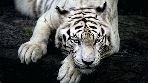 Preview wallpaper tiger, albino, lie, muzzle