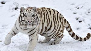 Preview wallpaper tiger, albino, snow, winter