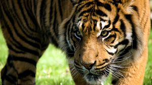 Preview wallpaper tiger, anger, aggression, striped, amur tiger