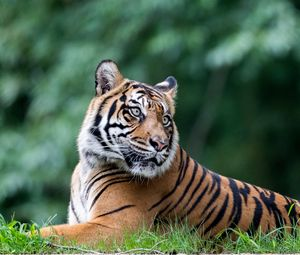Preview wallpaper tiger, animal, big cat