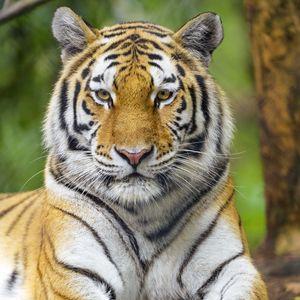 Preview wallpaper tiger, animal, glance, predator, big cat