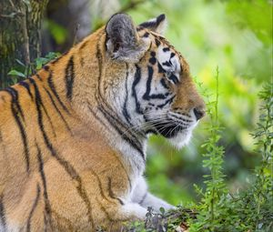Preview wallpaper tiger, animal, predator