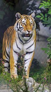 Preview wallpaper tiger, animal, roar, predator, big cat