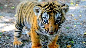 Preview wallpaper tiger, cub, look, kid