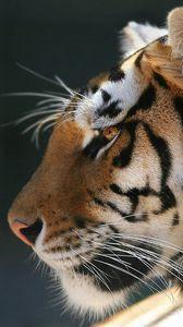 Preview wallpaper tiger, peace, pet, predator