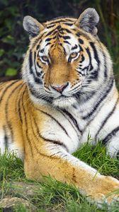Preview wallpaper tiger, predator, glance, animal