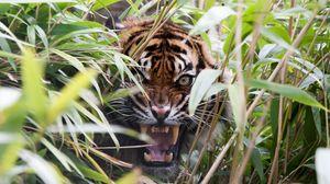 Preview wallpaper tiger, predator, grass, jaws, teeth, rage
