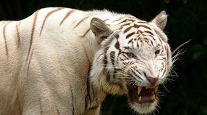 Preview wallpaper tiger, teeth, albino, predator, aggression
