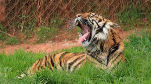 Preview wallpaper tiger, teeth, big cat, grass
