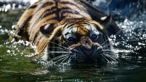 Preview wallpaper tiger, teeth, water, predator, muzzle, whiskers