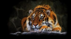 Preview wallpaper tiger, wild cat, black background
