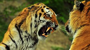 Preview wallpaper tigers, couple, fight, battle, teeth, anger