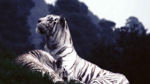 Preview wallpaper tigers, dream, grass
