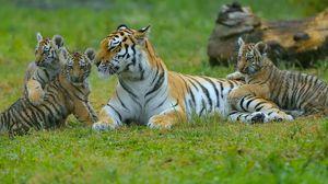 Preview wallpaper tigers, young, grass, predators, lying