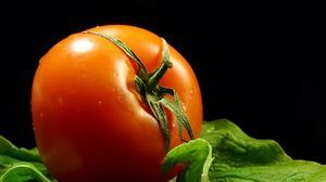 Preview wallpaper tomato, branches, drops