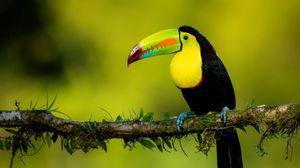 Preview wallpaper toucan, beak, bird, colorful, branch