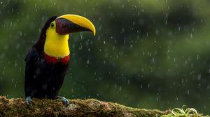 Preview wallpaper toucan, bird, beak, color, branch, exotic