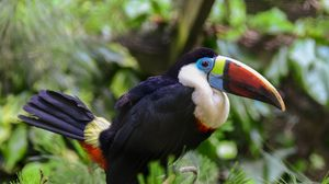 Preview wallpaper toucan, bird, beak, feathers, thickets