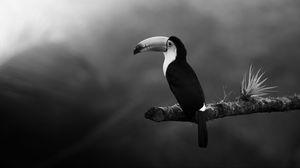 Preview wallpaper toucan, bird, bw, beak, branch