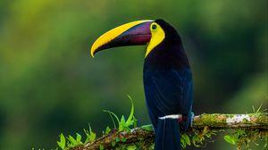 Preview wallpaper toucan, bird, exotic, branch, beak, color