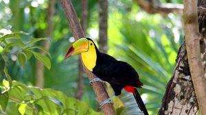 Preview wallpaper toucan, bird, tree, branch