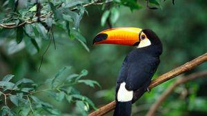 Preview wallpaper toucan, branch, tree, bird, beak