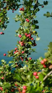 Preview wallpaper tree, branches, leaves, berries, macro