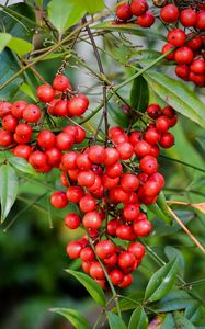 Preview wallpaper berries, bunch, tree, leaves, macro