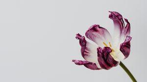 Preview wallpaper tulip, flower, minimalism