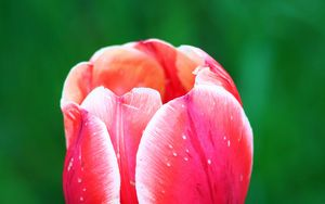 Preview wallpaper tulip, flower, petals, macro, red