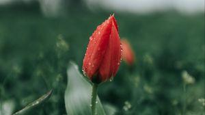 Preview wallpaper tulip, flower, red, dew, wet