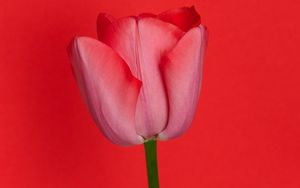 Preview wallpaper tulip, flower, red