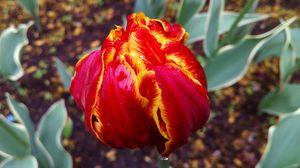 Preview wallpaper tulip, petals, striped, close-up