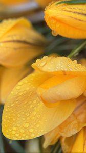 Preview wallpaper tulips, flowers, petals, drops, yellow, macro