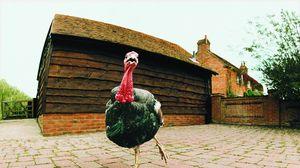 Preview wallpaper turkey, female, bird