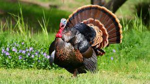 Preview wallpaper turkey, grass, feathers, bird