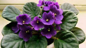 Preview wallpaper violet, lilac, flower, pot, indoor