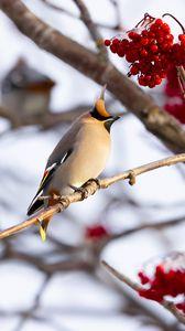 Preview wallpaper waxwing, bird, branch, berries, winter