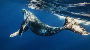 Preview wallpaper whale, swimming, underwater, water