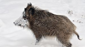 Preview wallpaper wild boar, young, snow, dirty, forest