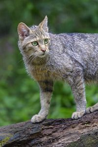 Preview wallpaper wild cat, animal, glance