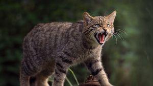 Preview wallpaper wild cat, cat, fangs, wildlife