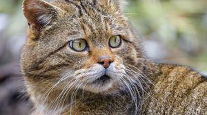 Preview wallpaper wild cat, glance, predator, wildlife